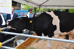 (県庁)畜産フードコレクションの牛